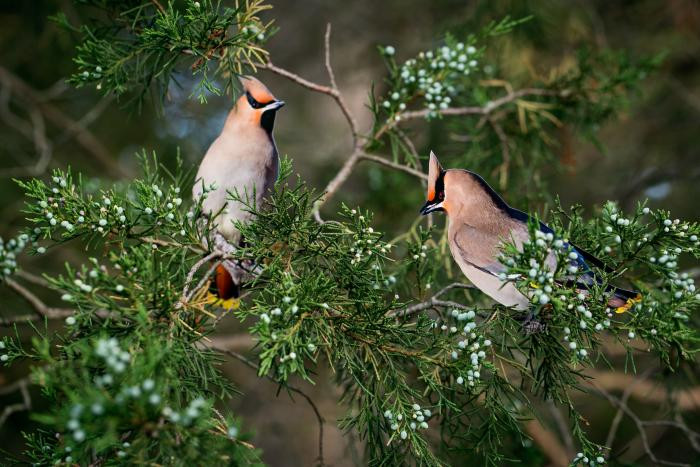 "Two ""Bohemian Waxwings"" by Carolyn Monastra"