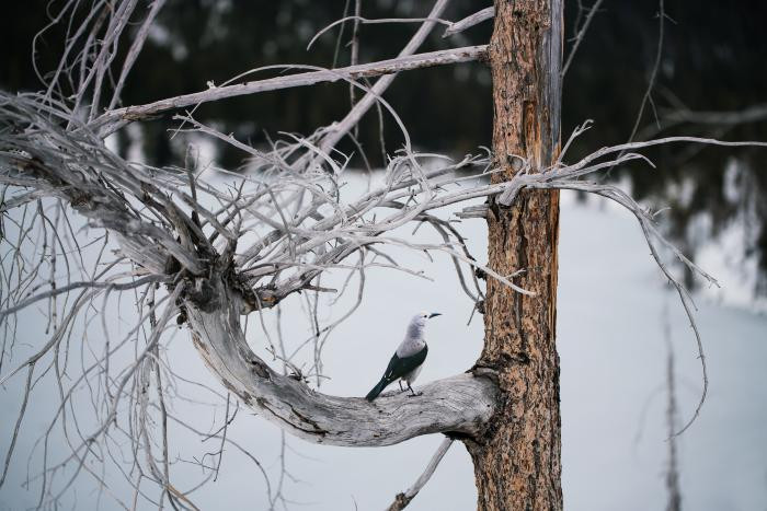 """Clark's Nutcracker"" by Carolyn Monastra"