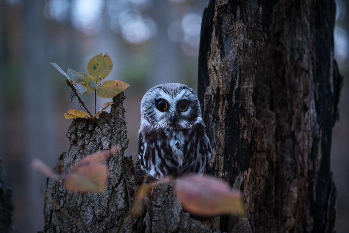 """Northern Saw-whet Owl"" by Carolyn Monastra"