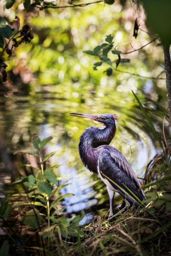 """Tri-colored Heron"" by Carolyn Monastra"