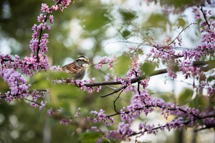 """White-throated Sparrow"" by Carolyn Monastra"