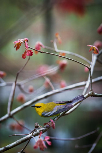 """Blue-winged Warbler"" by Carolyn Monastra"