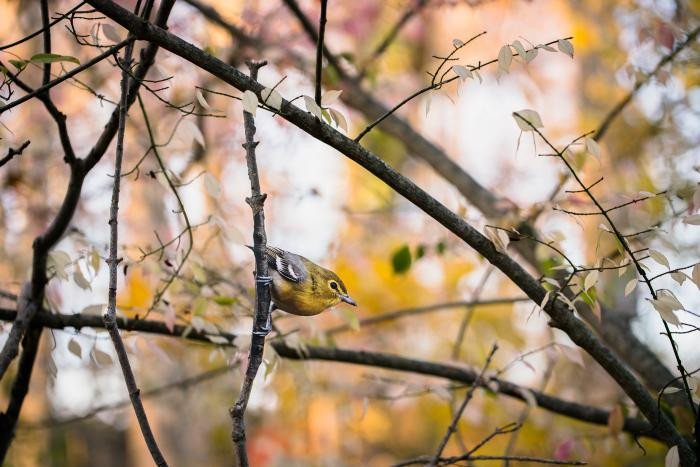 """Yellow-throated Vireo"" - original bird photograph by Matt Tillett via Creative Commons by Carolyn Monastra"